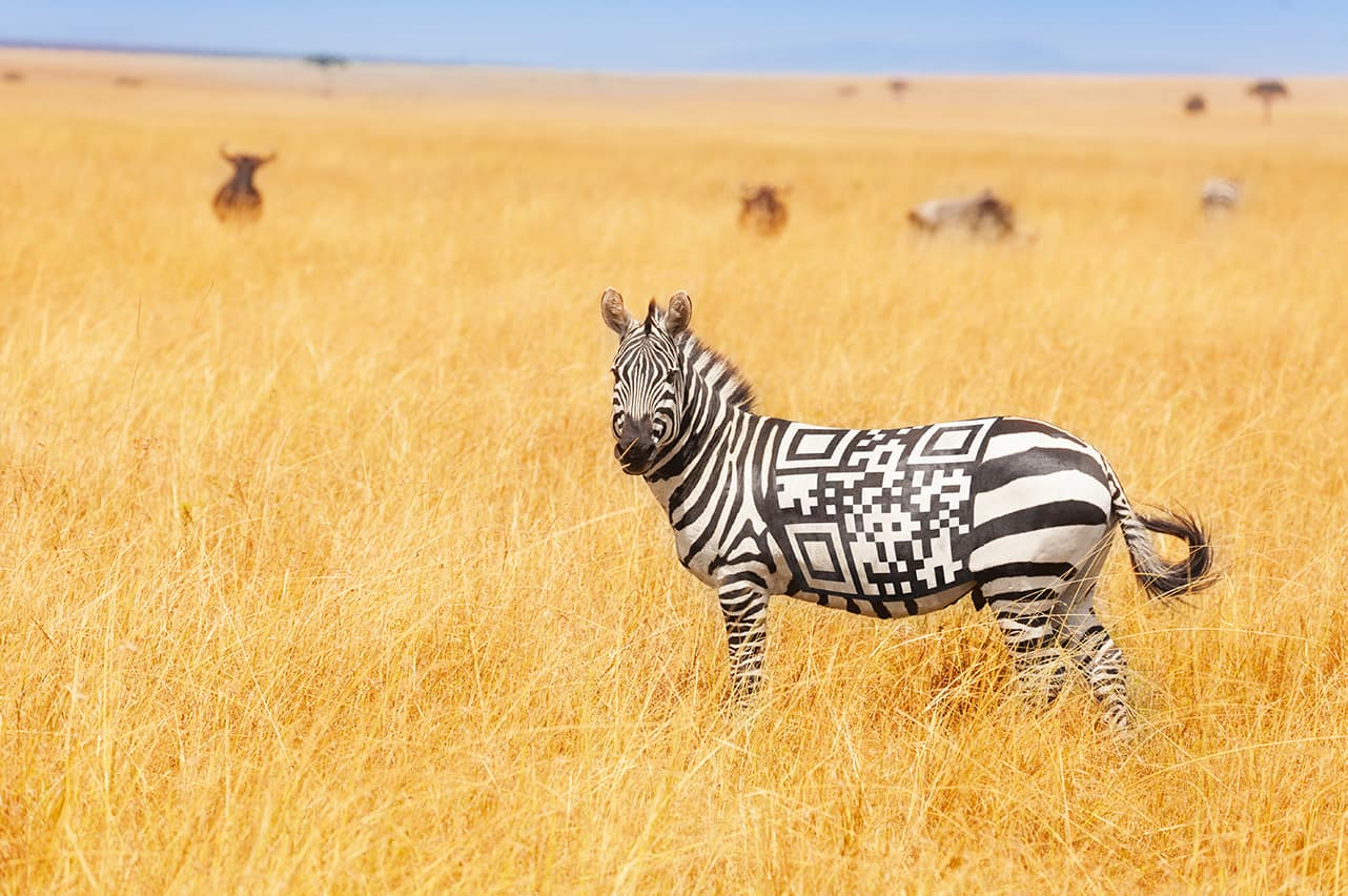 Zebra in grass field with QR Code for stripes